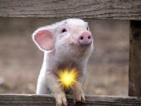 funny-pig
