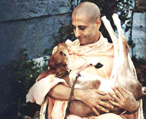 Radhanath_Swami_holding_a_small_calf